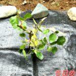 薔薇の苗の画像