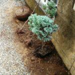 生け垣用の木の画像