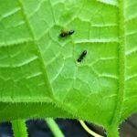 蟻とアブラムシの画像