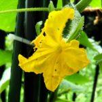きゅうりの雌花の画像
