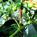 トマトのわき芽の画像