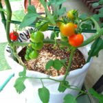 トマトの画像