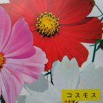 秋桜の種の画像