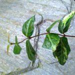 ハツユキカズラの緑色の新芽の画像