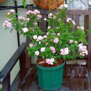 つるバラのユキコの画像