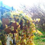 アイビーと梅の花の画像