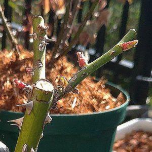 バラの新芽の画像