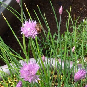 チャイブと蜜蜂の画像