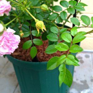 薔薇の葉の画像
